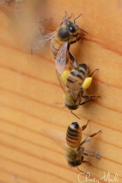 PollenLegs