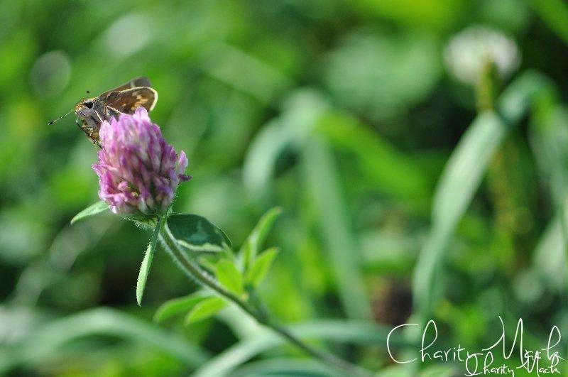 Blueridge Moth